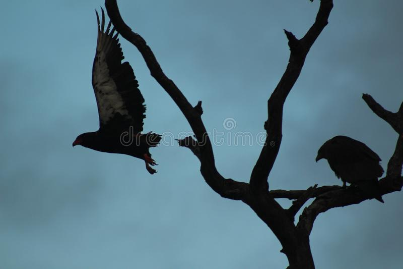 Afrikanska fåglar - Bateleur Eagle - Kruger nationalpark royaltyfri foto