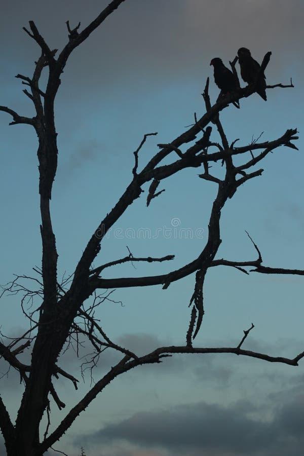 Afrikanska fåglar - Bateleur Eagle - Kruger nationalpark royaltyfri fotografi