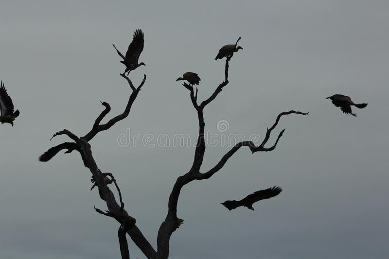 Afrikanska fåglar - gam - Kruger nationalpark royaltyfria foton