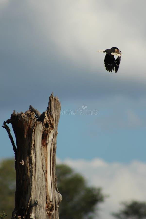 Afrikanska fåglar - gul fakturerad Hornbill - Kruger nationalpark royaltyfri foto