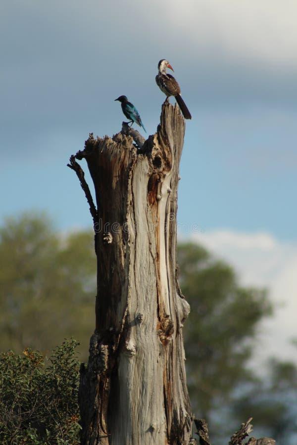 Afrikanska fåglar - gul fakturerad Hornbill - Kruger nationalpark royaltyfria bilder
