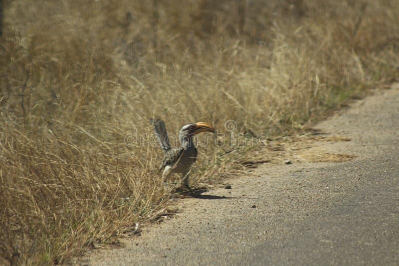 Afrikanska fåglar - jordHornbil - Kruger nationalpark royaltyfria bilder
