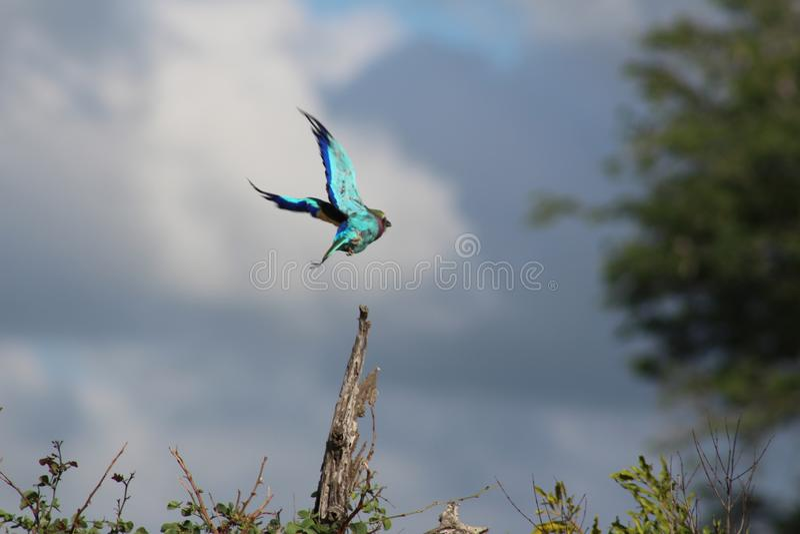 Afrikanska fåglar - Lillac gick mot rullen - Kruger nationalpark arkivfoton
