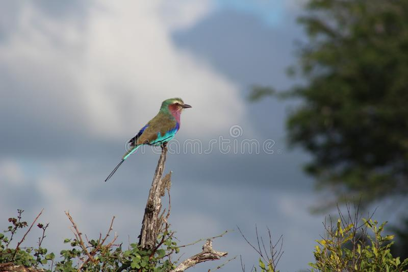 Afrikanska fåglar - Lillac gick mot rullen - Kruger nationalpark royaltyfri fotografi