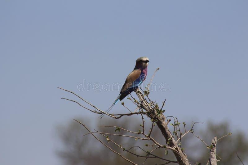 Afrikanska fåglar - Lillac gick mot rullen - Kruger nationalpark arkivbilder