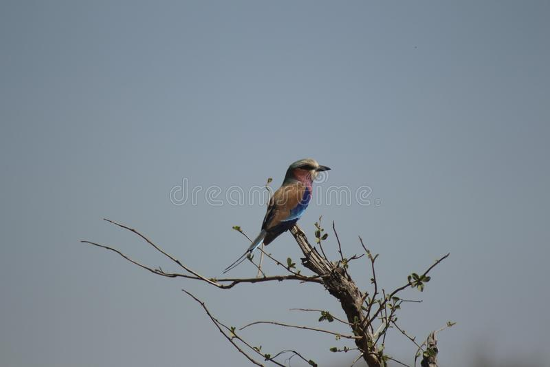 Afrikanska fåglar - Lillac gick mot rullen - Kruger nationalpark royaltyfria foton