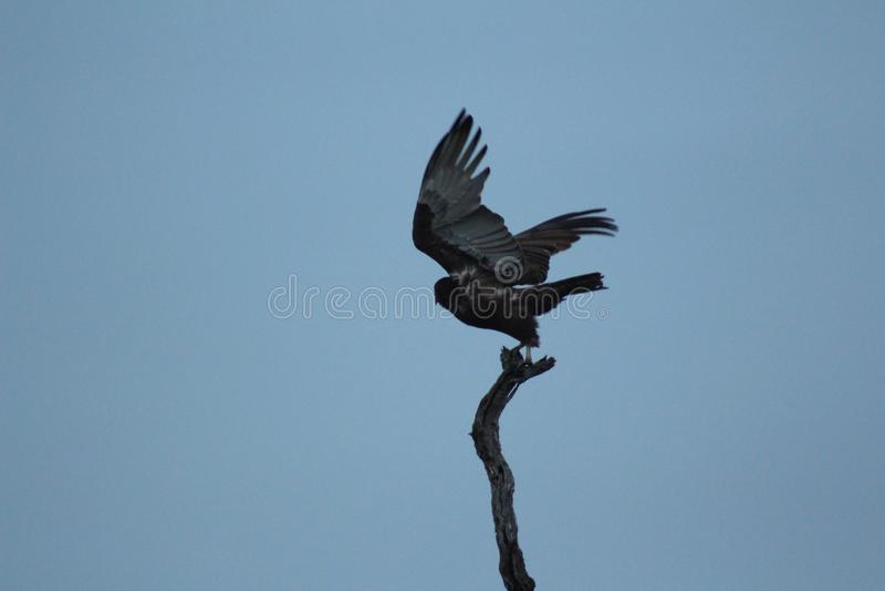Afrikanska fåglar - söder - afrikan Hawk Eagle - Kruger nationalpark arkivbild