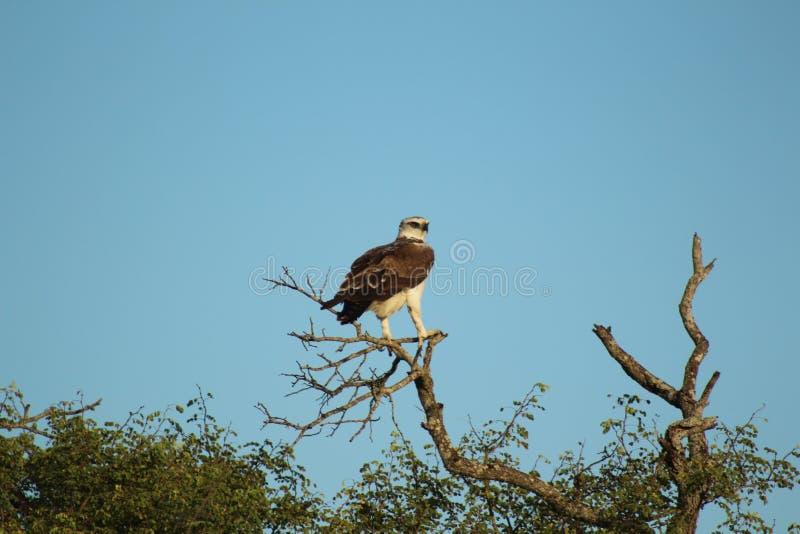 Afrikanska fåglar - söder - afrikan Hawk Eagle - Kruger nationalpark royaltyfria foton