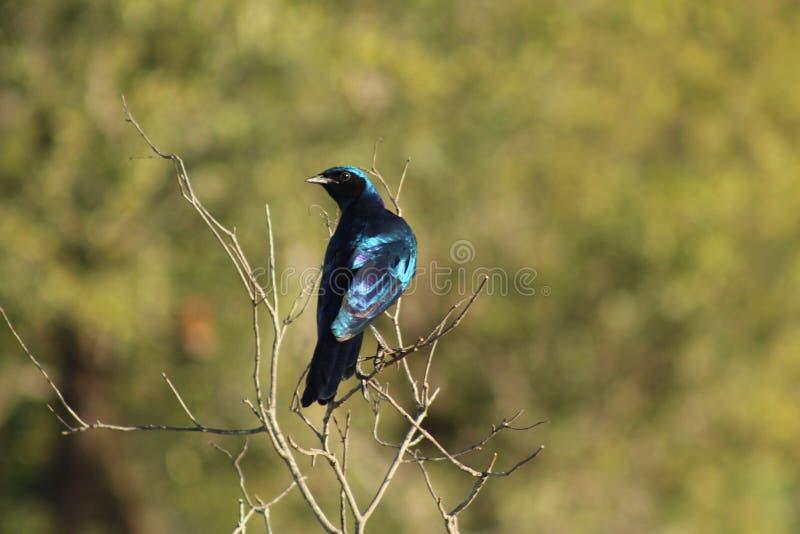 Afrikanska fåglar - stare - Kruger nationalpark fotografering för bildbyråer