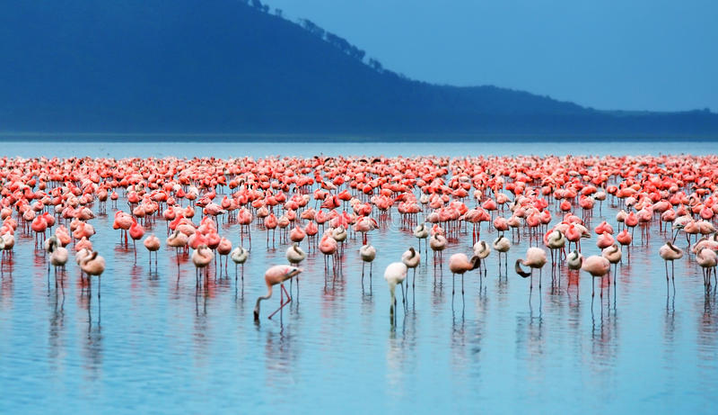 afrikanska flamingos arkivbild