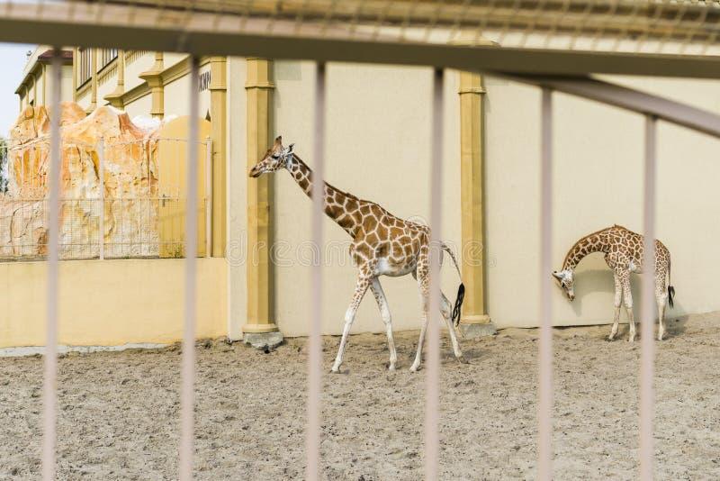 Afrikanska giraff i zoo arkivbilder