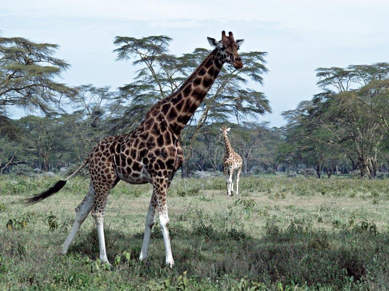 afrikanska giraff två royaltyfria bilder