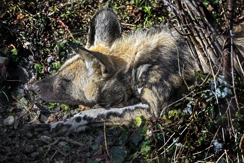 Afrikanska jaga hunds huvud 2 arkivfoto
