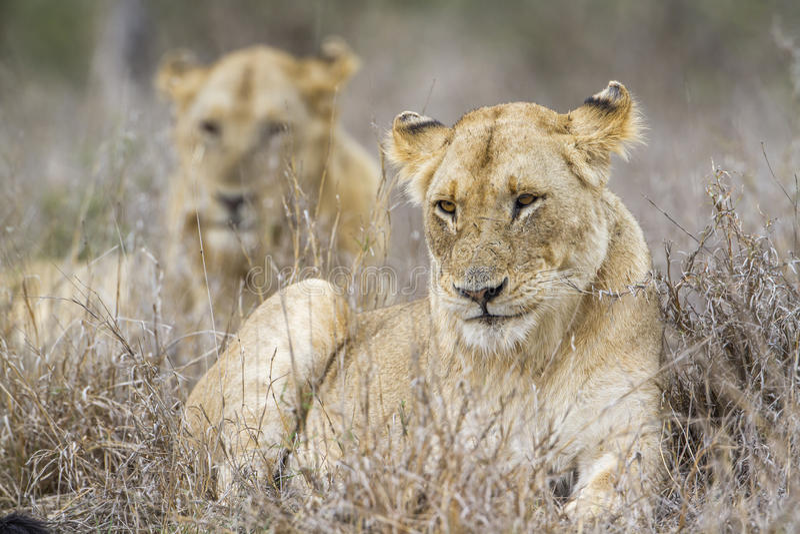 Afrikanska lejon i den Kruger nationalparken, Sydafrika fotografering för bildbyråer