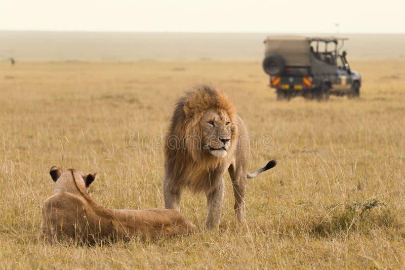 Afrikanska lejonpar och safarijeep arkivbild