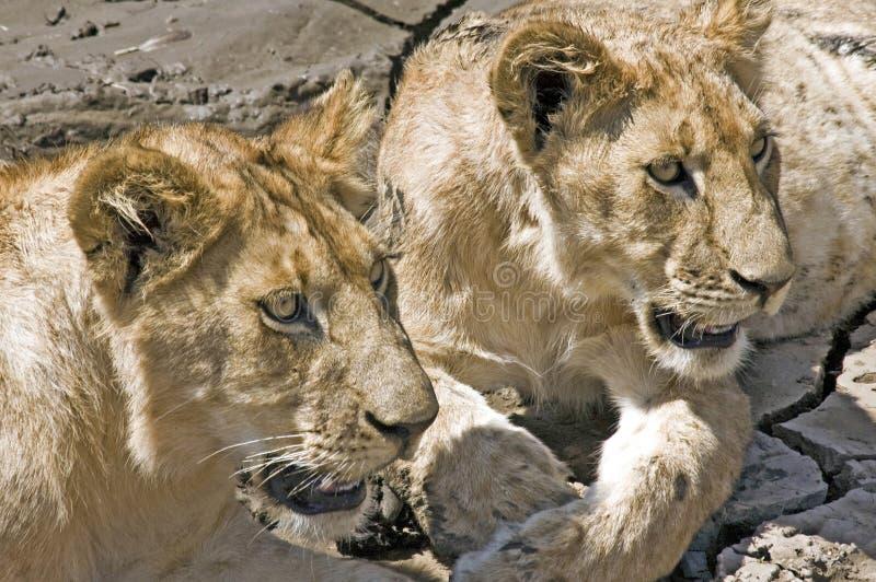 afrikanska leon royaltyfri foto