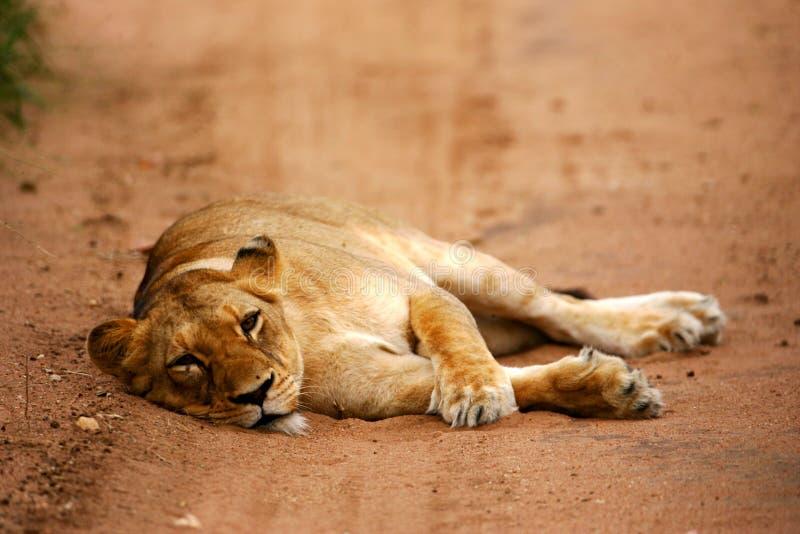 afrikanska lions royaltyfria bilder