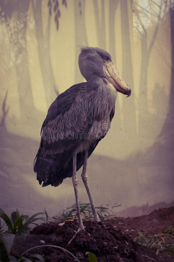 Afrikanska Shoebill arkivbild