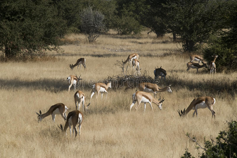 afrikanska springboks arkivfoto