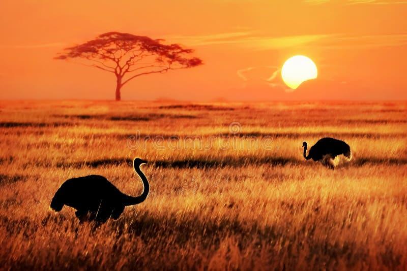 Afrikanska strutsar i savannah tillbaka lampa arkivfoto