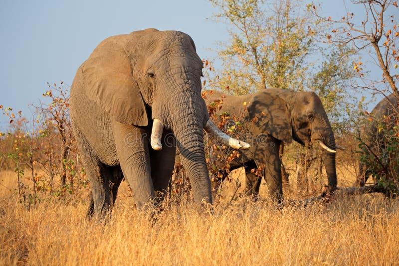 afrikanska tjurelefanter arkivfoto