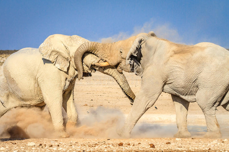 Afrikanska tjurelefanter som slåss på waterhole i den Etosha nationalparken, Namibia, Afrika arkivfoton