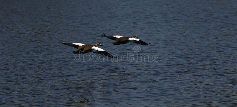 Afrikanska vattenfåglar, egyptiska gees som bort flyger arkivbilder