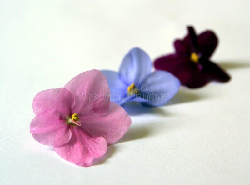 Afrikanska violets royaltyfri foto