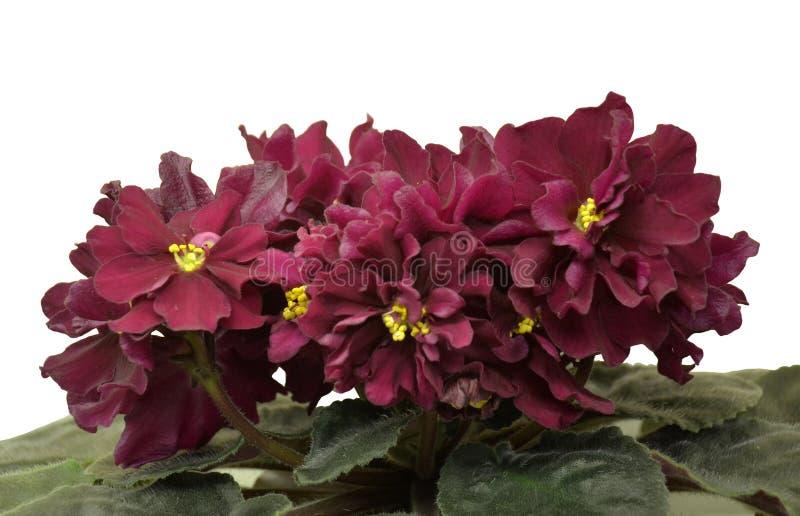 Afrikanska violets för samling LE Vega - mycket stora halv-dubblett och för dubblett svart-körsbär-röda stjärnor på robusa pedunc royaltyfri foto