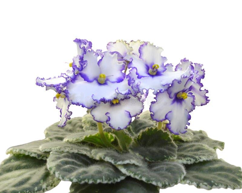 Afrikanska violets för samling Lonestar skymning royaltyfria foton