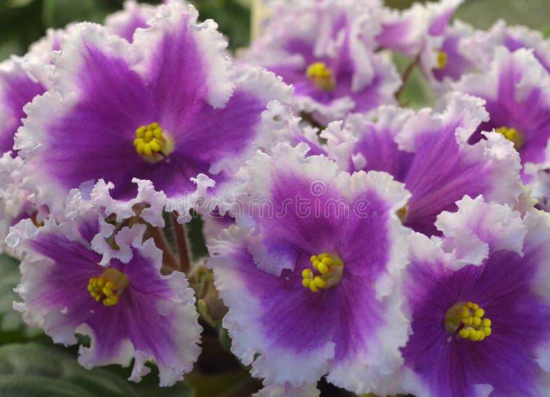 Afrikanska violets för samling NiL Shamahanskaya Tsaritsa Shamahanskaya Queen fotografering för bildbyråer