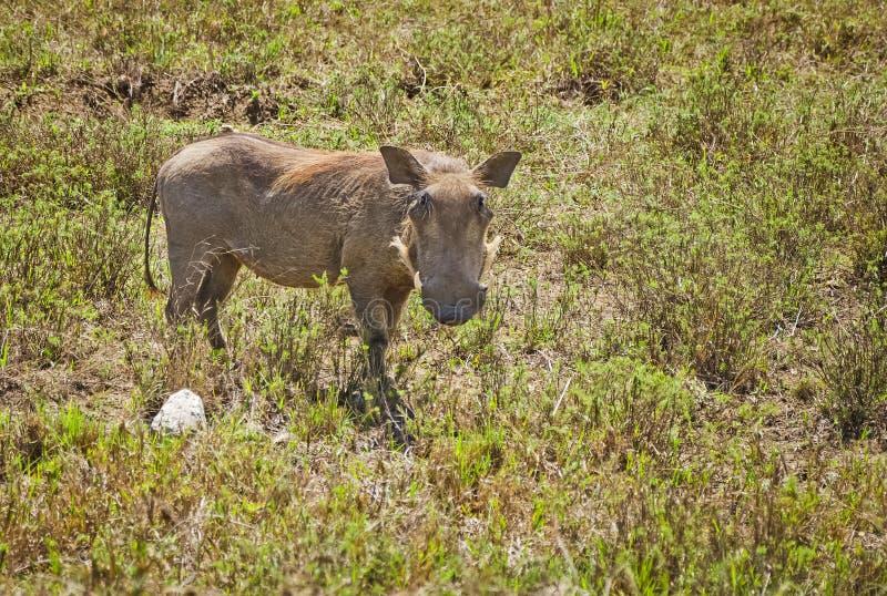 Afrikanska Warthog Svinoobraznoe djur av afrikanen royaltyfri foto
