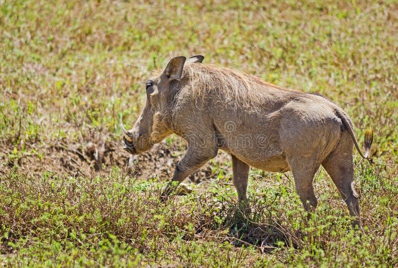 Afrikanska Warthog Svinoobraznoe djur av afrikanen royaltyfri bild