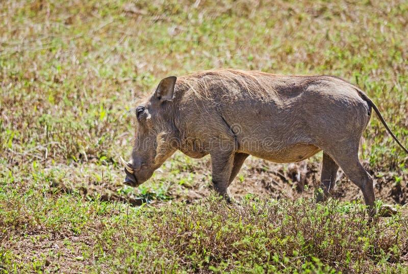 Afrikanska Warthog Svinoobraznoe djur av afrikanen arkivbilder