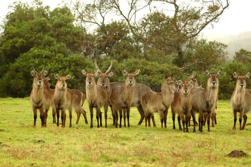 afrikanska waterbucks arkivfoton