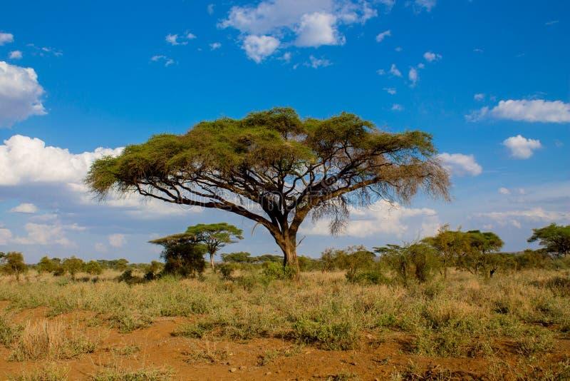 Afrikanskt akaciaträdlandskap i savannahbuske royaltyfria bilder