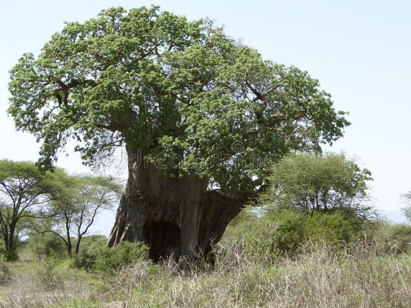 Afrikanskt Baobabträd arkivfoton