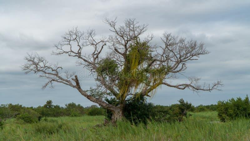 Afrikanskt baobabträd i en nationalpark i Sydafrika royaltyfri fotografi