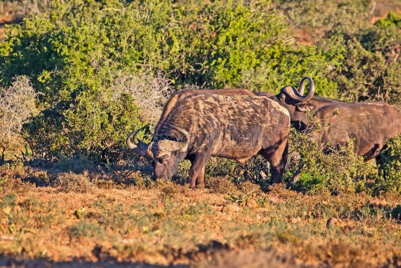 Afrikanskt beta för buffeltjur royaltyfri bild