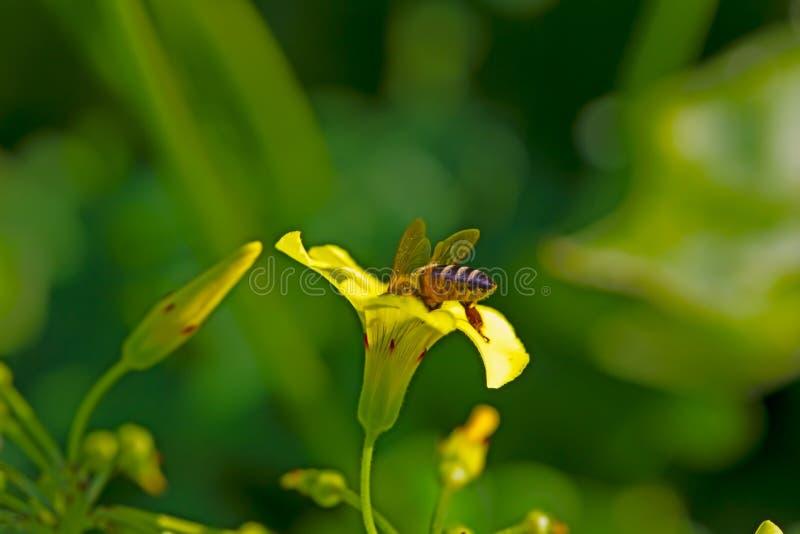 Afrikanskt bi som samlar pollen från gul vårvildblomma arkivfoto