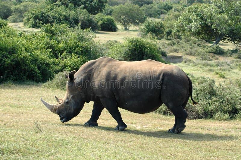 afrikanskt djurliv royaltyfri bild