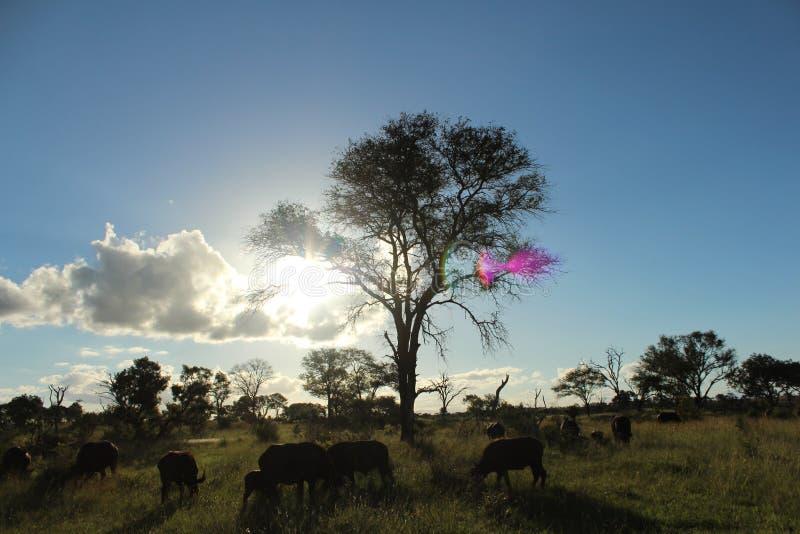 Afrikanskt djurliv - buffel - den Kruger nationalparken arkivbild