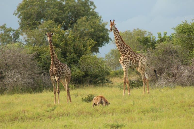 Afrikanskt djurliv - giraff - den Kruger nationalparken arkivbild