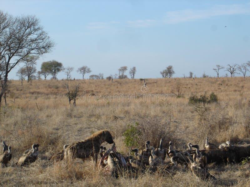 Afrikanskt djurliv - hyenan och gam - den Kruger nationalparken royaltyfria foton