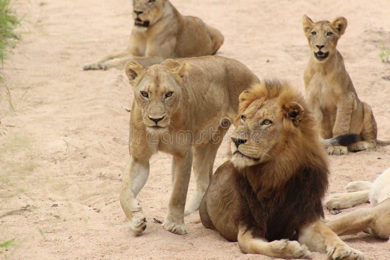Afrikanskt djurliv - lejonstolthet - den Kruger nationalparken arkivfoto