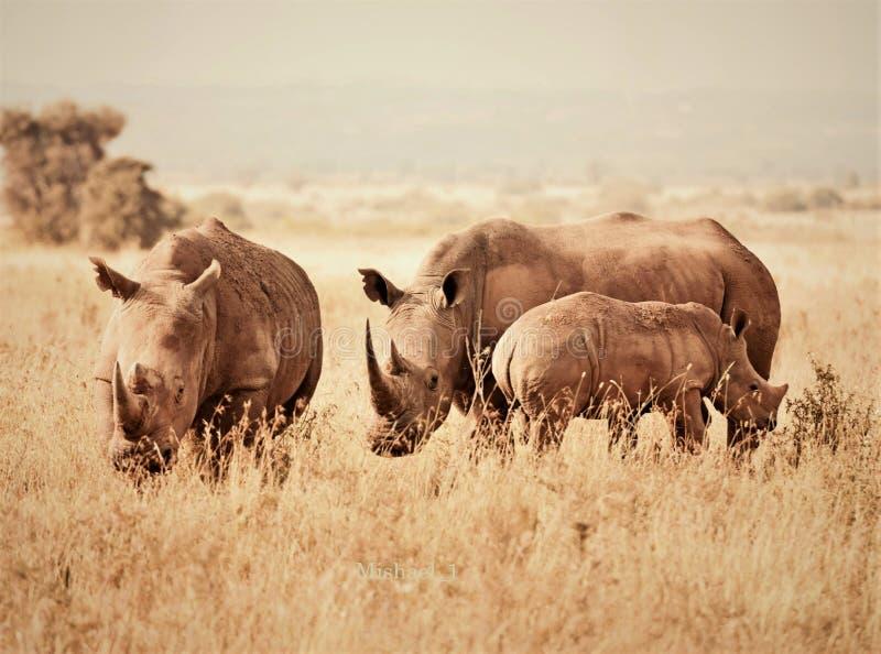 afrikanskt djurliv svarta rhinos royaltyfri fotografi