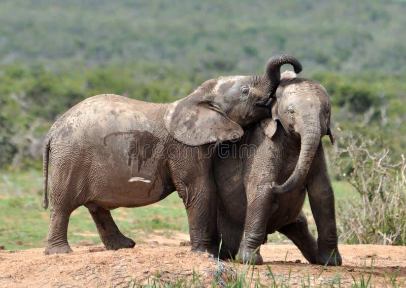 afrikanskt elefantkyssdjurliv fotografering för bildbyråer