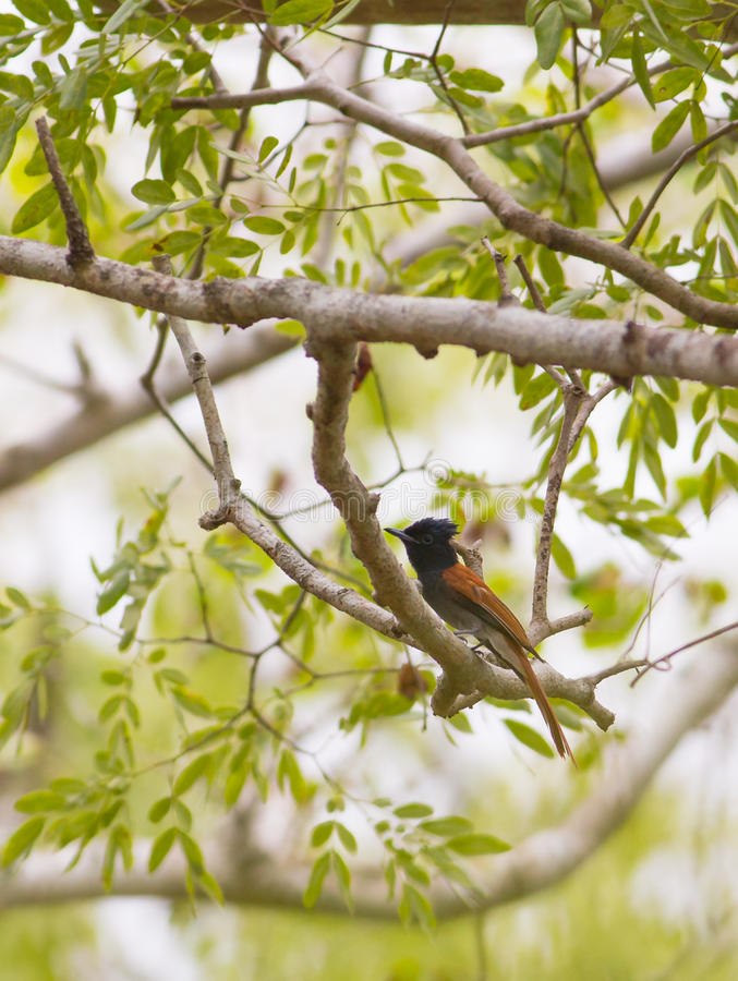 afrikanskt flycatcherparadis royaltyfri bild