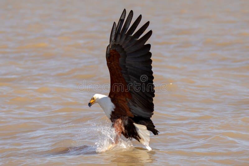 Afrikanskt hav Eagle, Kenya, Afrika arkivfoton