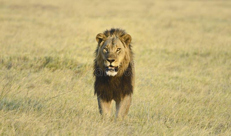 Afrikanskt lejon royaltyfri bild